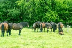 Transhumance sous la pluie (Ariège) (PierreG_09) Tags: seix ariège pyrénées pirineos occitanie couserans hautsalat transhumance tradition fête troupeau cheval