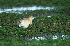 Squacco Heron (Alexandre & Chloé Bès - Waitandshoot Photography) Tags: waitandshoot south france sud oiseaux birds animal wild wildlife colours sauvage nature camargue squacco heron