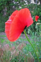 the poppy :) (green_lover (I wait for your COMMENTS!)) Tags: poppy poppies flowers wildflowers plants nature red green diagonal