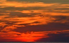 Flying towards the fire (Giulia C) Tags: sea sunset mare tramonto seagull gabbiano ardenza rotonda livorno leghorn toscana tuscany