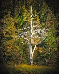 Ballerina (Maciej - landscape.lu) Tags: ballerina dancer dancing tree pine old forrest national park anderdalen senja norway scandinavia norsk nordic arctic polar circle
