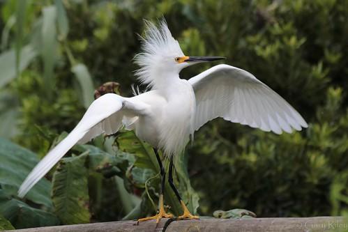 IMG_2230 snowy egret