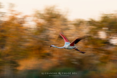 Greater Flamingo (Alexandre & Chloé Bès - Waitandshoot Photography) Tags: waitandshoot south france sud oiseaux birds animal wild wildlife colours sauvage nature camargue greater flamingo