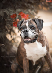 Boxer (Fabi's Photography) Tags: boxer chien dpg