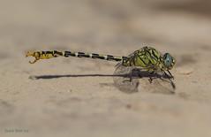 """The """"forceps"""" of the forcipatus (Ricardo Menor) Tags: insectos male dragonfly macho pinzas odonata airelibre 2019 macrofotografía libélulas adultmale odonatos onychogomphusforcipatus iluminaciónnatural ríochícamo machoadulto laumbría desiertodeabanilla libélulasmurcianas ríochícamo2019 laumbría2019 cercos cercoides apéndicesanales"""