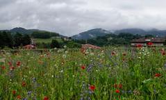 Popurrí de flores (eitb.eus) Tags: eitbcom 16599 g1 tiemponaturaleza tiempon2019 flora gipuzkoa irun josemariavega
