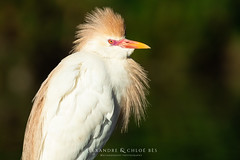 Western Cattle Egret (Alexandre & Chloé Bès - Waitandshoot Photography) Tags: waitandshoot south france sud oiseaux birds animal wild wildlife colours sauvage nature camargue western cattle egret