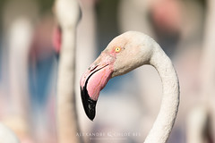 Greater Flamingo (Alexandre & Chloé Bès - Waitandshoot Photography) Tags: waitandshoot france sud oiseaux birds animal wild wildlife colours sauvage nature camargue greater flamingo