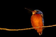 Who dares to wake me up with a headlight? (bhermann.hamburg) Tags: kingfisher borneo nightphotography blueeyedkingfisher eisvogel nachtfotografie