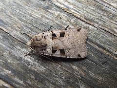 Double Square-spot (Baractus) Tags: double squarespot john oates lakes moths earlswood westmidlands uk