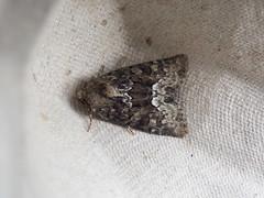 Rufous Minor? (Baractus) Tags: rufous minor john oates lakes moths earlswood westmidlands uk