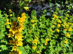 Wild yellow flowers along the river bank (janettehall532) Tags: wildyellowflowers wildflower yellowflower naturephotography nature beautiful beauty summer flowers floral macroflowers flowersandcolours flowerphotography flowerpetals wildyellowflower beautyinnature natural naturelovers lovenature colours riverbank photo photography closeupphotography macrophotography macro huaweip30pro huawei flickr flickrcentral outdoors outdoorphotography