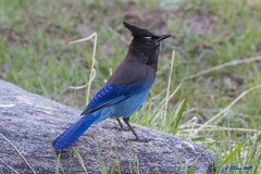 IMG_4271 stellar jay (starc283) Tags: stellarjay jay starc283 bird birding birds flickr flicker nature naturesfinest naturewatcher colorado canon7d mountains mountain