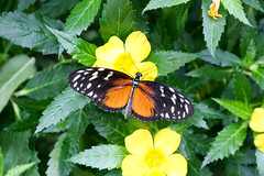 Vacances_0914 (Joanbrebo) Tags: mainau konstanz badenwürttemberg de deutschland canoneos80d eosd autofocus mariposa butterfly papallona papillon farfalle