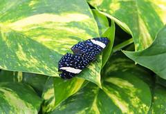 Vacances_0913 (Joanbrebo) Tags: mainau konstanz badenwürttemberg de deutschland canoneos80d eosd autofocus mariposa butterfly papallona papillon farfalle