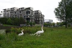 Cygnes dans la Marina à Confluence - Lyon (Sam Photos with Sony native jpeg) Tags: cygnes lyon swan swans cygne river france couple