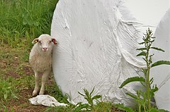 lam / lamb (KvikneFoto) Tags: mf meyeroptik nikon lam lamb sheep sau rundballe traktoregg