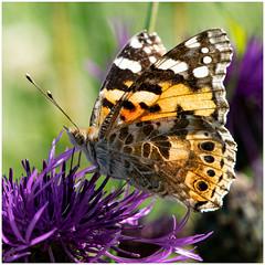 Distelfalter (robert.pechmann) Tags: distelfalter vanessacardui insekt schmetterling falter distel robert pechmann makro macro
