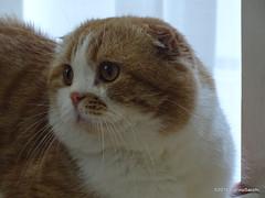 P6206907 DSC02491 (pierino sacchi) Tags: casa gatto lamborghini scottishfold