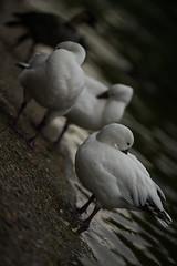 Ross's geese with nēnē beyond (PChamaeleoMH) Tags: london birds geese stjamesspark centrallondon rosssgeese
