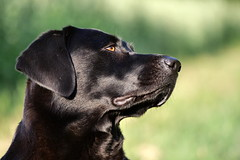 What (uwe.kast) Tags: labrador labradorretriever labradorredriver hund haustier dog bichou bokeh black panasonic lumix g9 100300
