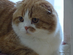 P6206909 DSC02493 (pierino sacchi) Tags: casa gatto lamborghini scottishfold