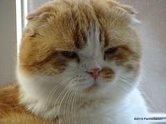 P6206902 DSC02486 (pierino sacchi) Tags: casa gatto lamborghini scottishfold