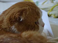 P6176582 DSC02165 (pierino sacchi) Tags: casa gatto lamborghini scottishfold
