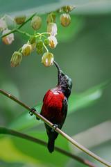Van Hasselt's Sunbird (BP Chua) Tags: bird nature wild wildlife animal sunbird singapore asia smallbird nikon d850 600mm