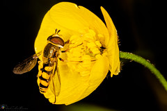 """Fly on flower • <a style=""""font-size:0.8em;"""" href=""""http://www.flickr.com/photos/126602711@N06/48097089523/"""" target=""""_blank"""">View on Flickr</a>"""