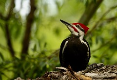 Male Pileated woodpecker (Guy Lichter Photography - 5.1M views Thank you) Tags: pileatedwoodpecker woodpecker birds bird animals animal wildlife winnipeg manitoba canada 5d3 canon