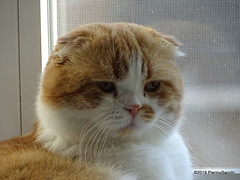 P6206904 DSC02488 (pierino sacchi) Tags: casa gatto lamborghini scottishfold