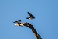I'm Out of Here (jwfuqua-photography) Tags: treeswallow nature birds pennsylvania swallows peacevalleynaturecenter jerrywfuqua buckscountyparks jwfuquaphotography buckscounty