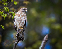 Hawk (RWGrennan) Tags: hawk perched perch nassau ny bird prey hunting eye tree leaf spring upstate new york wildlife nature outdoors rwgrennan rgrennan ryan grennan nikon d610 tamron 150600
