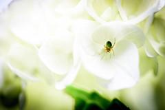 紫陽花 2019 #1ーHydrangea 2019 #1 (kurumaebi) Tags: yamaguchi 秋穂 山口市 nikon d750 nature 花 アジサイ macro hydrangea