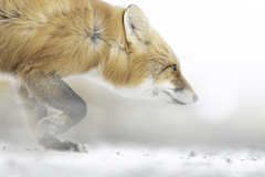 Winter struggles (Khurram Khan...) Tags: redfox wildlife wildlifephotography wild wwwkhurramkhanphotocom khurramkhan snowfall alaska tundra iamnikon nikonnofilter