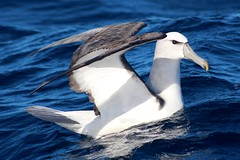 White Capped Albatross (famkefonz) Tags: albatross whitecappedalbatross seabird perlargicseabird ocean southpacificocean tutukaka northland newzealand