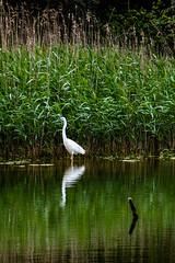 20190609-Marquenterre -113.jpg (LeVieilours) Tags: oiseau grandeaigrette animaux vacances marquenterre nature