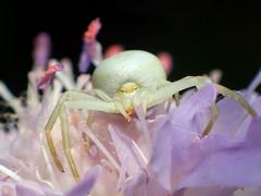 Misumena vatia (libra1054) Tags: misumenavatia veränderlichekrabbenspinne crabspider arañacangrejo araignéecrabe insects insekten insectos insetti insectes macro natura nature