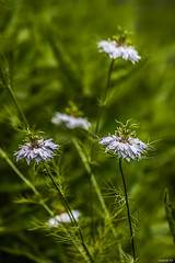 Nigelles de Damas (Vostok 911) Tags: vostok911 flower canonef70300mmf456isusm canon eos40d nigellesdedamas