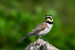 King of the hill (Fred Roe) Tags: nikond7100 nikonafsnikkor200500mm156eed nature naturephotography national wildlife wildlifephotography animals birds birding birdwatching birdwatcher lark hornedlark eremophilaalpestris colors outside flickr