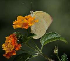 Just Passing By (ACEZandEIGHTZ) Tags: nikond3200 bokeh flowers lantana nature cloudlesssulphur butterfly flyinginsect wings phoebissennae plant leaves