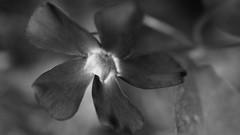 Glow (theflyingtoaster14) Tags: glow glanz licht light strahlen sun sonne blume flower spring frühling black white schwarz weis olympus omd em1 mark ii m2 sigma 105 macro makro