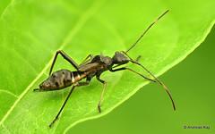 Broad-headed Bug, Alydidae (Ecuador Megadiverso) Tags: alydidae andreaskay ant broadheadedbug ecuador focusstack heteroptera mimicry nymph truebug