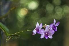 Denphales (mcvmjr1971) Tags: blue nikon d800e lens sigma art 2435 f20 mmoraes niterói brasil 2019 orchid orquídea flor flower