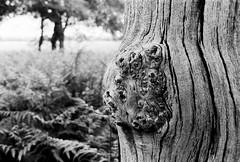 (a.pierre4840) Tags: olympus om3 zuiko 55mm f12 35mmfilm kosmofotomono100 bw blackandwhite noiretblanc tree texture dof depthoffield bokeh wood