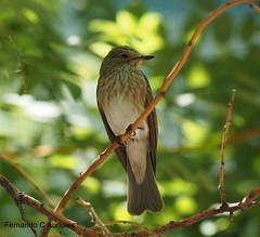 P6180454 (F. Aurioles) Tags: papamoscas pájaro