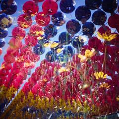 Lanterns / Flowers (GlobalGoebel) Tags: exposure kodak doubleexposure double lanterns elitechrome flowers yellow analog temple lomo lomography shrine buddhist buddhism slide mini korea ishootfilm slidefilm diana analogue southkorea elitechrome100 filmisnotdead dianamini square squareformat gangnam bongeunsa