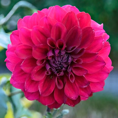 Red Dahlia. (womboyne7) Tags: red dahlia flower petals green spider 100xflowers2019
