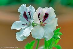 Two (RoLiXiA) Tags: sardegna sardinia sardaigne sardinien cerdeña fiori flowers gerani macro giardino bianco white nikond90 sigma105